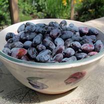 Haskap Berries Plants