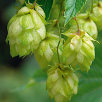 Hop Seeds - Beermakers Hops