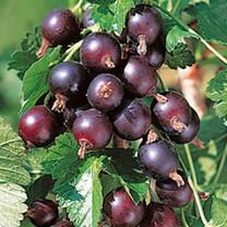 Jostaberry Plant