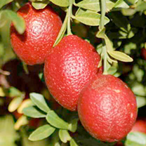 Citrus Tree - Red Lime