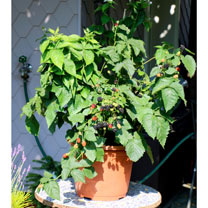 Lowberry Blackberry Plant - Little Black Prince