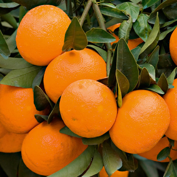 Citrus Tree - Mandarin