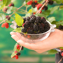 Mulberry Plant - Charlotte Russe