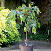 Mulberry Dwarf Bush - Charlotte Russe Standard