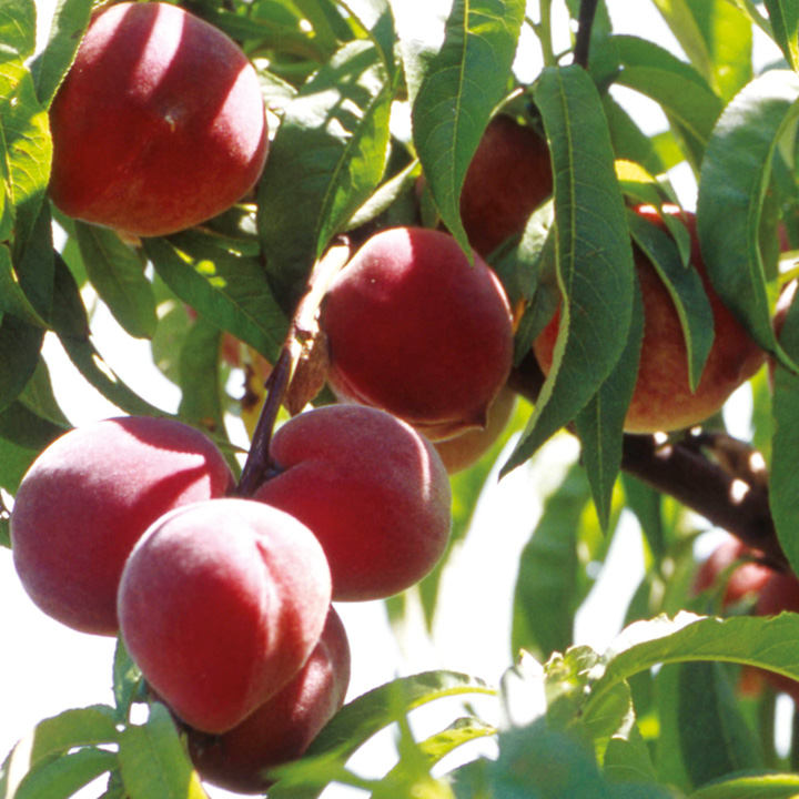 Peach Tree - Avalon Pride - Suttons Seeds and Plants
