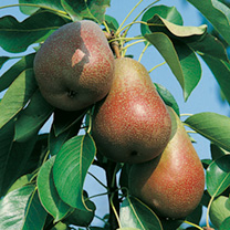 Pear Tree - Beurre Hardy