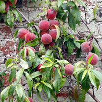 Nectarine Tree - Lord Napier