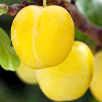 Plum Tree - Yellow Pershore