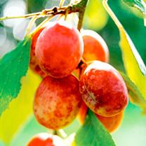 Gourmet Fruit Tree - Plum & Gage