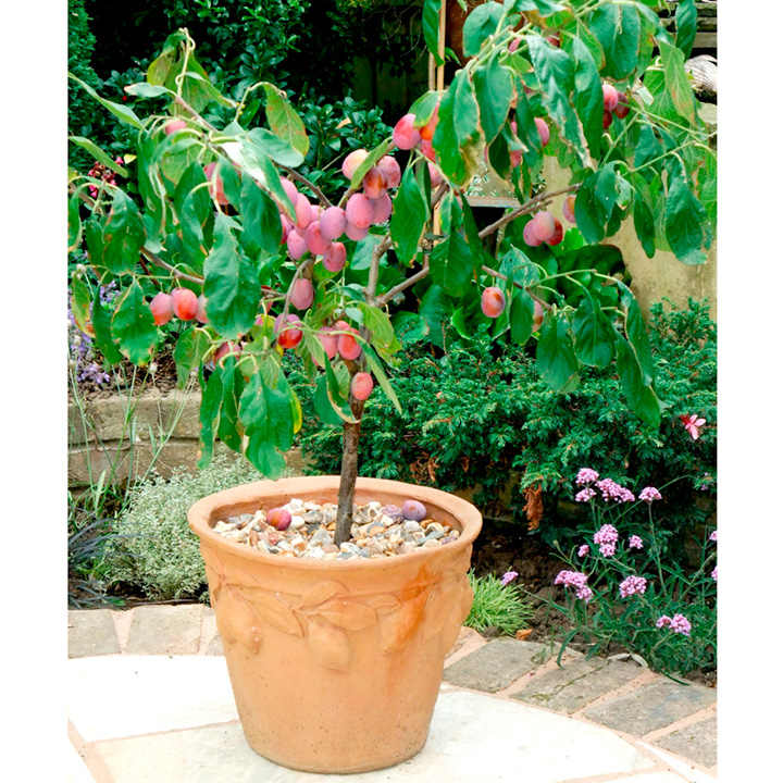 Patio Fruit Tree Plum Victoria 1 All Fruit Trees Fruit