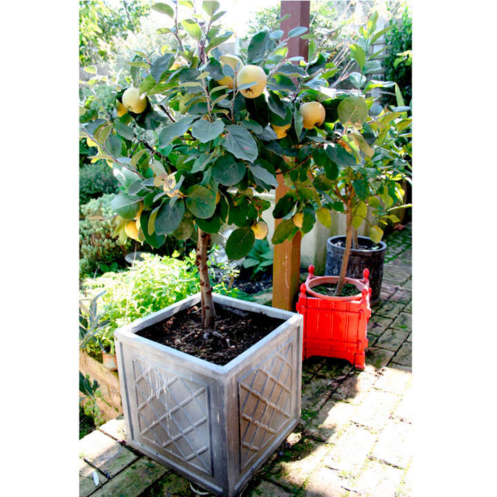 quince dwarf fruit tree