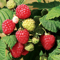 Raspberry Bare Root Plants - All Season Collection