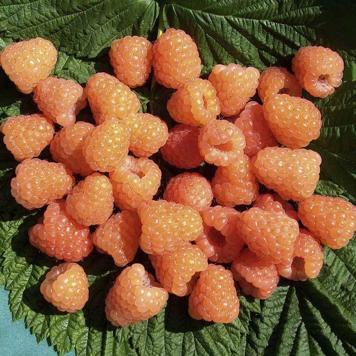 Raspberry Plants - Valentina