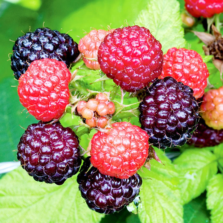 Black Raspberry Plant - Jewel