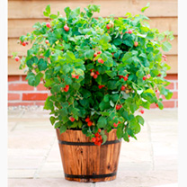 Raspberry Plants - Ruby Beauty