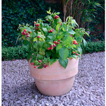 Raspberry Yummy is a dwarf and compact variety that is incredibly easy to grow. Producing fruit in the first year you won't have to wait around to sam