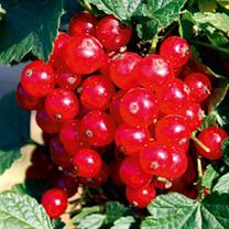 Redcurrant Plant - Lisette