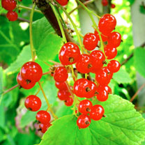 Redcurrant Plant - Junifer