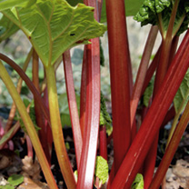 So easy to grow, so productive, so tasty and so versatile! Right now rhubarb is incredibly popular in British homes and kitchens. Rhubarb is versatile