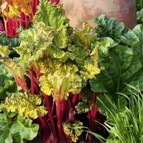 Rhubarb Plants - Tasters'  Collection