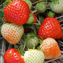 Strawberry Plants - Elegance