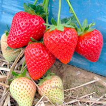 This mid season strawberry is an outstanding variety to celebrate 100 years of the famous East Malling breeding station. Beautiful conical-shaped berr