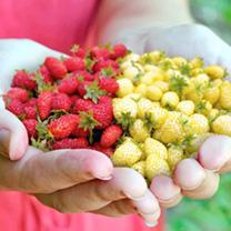 Strawberry Seeds - Red & White Wild