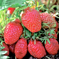 Strawberry Plants - Gariguette