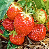 Strawberry Plants - Manille