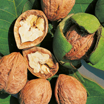 Nut Tree - Walnut Lara