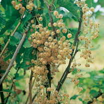 Whitecurrant Plants - Blanka