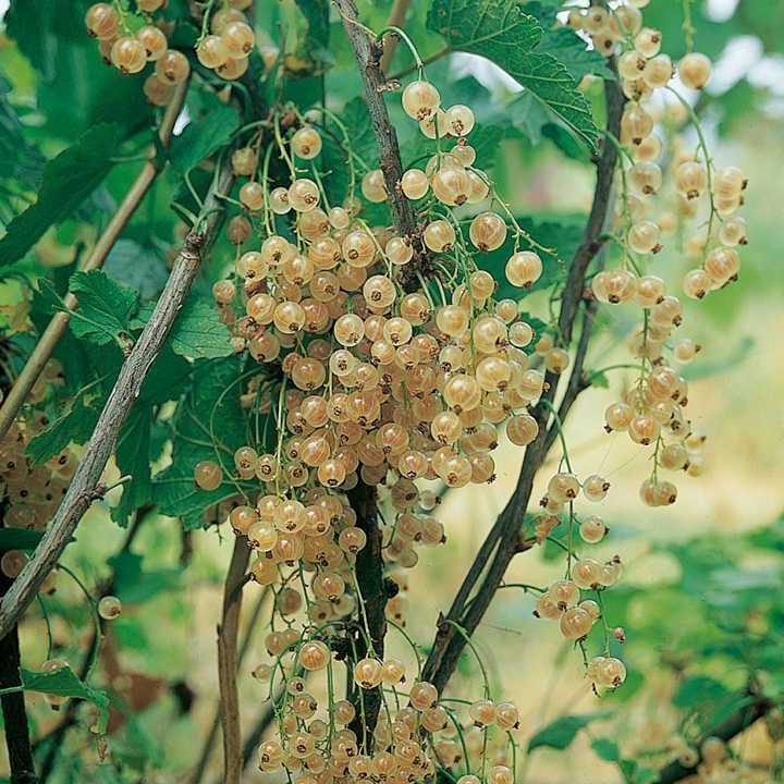 Whitecurrant Plants - Blanka