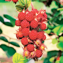 Japanese Wineberry Plant