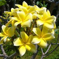 Plumeria Plant - Inca Gold