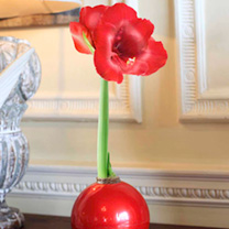 Amaryllis Bulbs - Red & White
