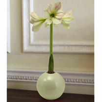 Amaryllis Bulb - White Ball