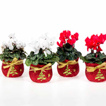 Red Cyclamen in a Red & Gold Pot