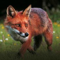 Foxwatch