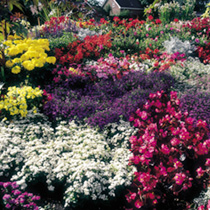 Value Bedding Plants - Lucky Dip