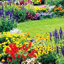Bedding Garden Ready Plants - Lucky Dip Collection (60 Plants)