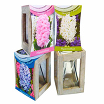 Hyacinth Lantern (Indoor)