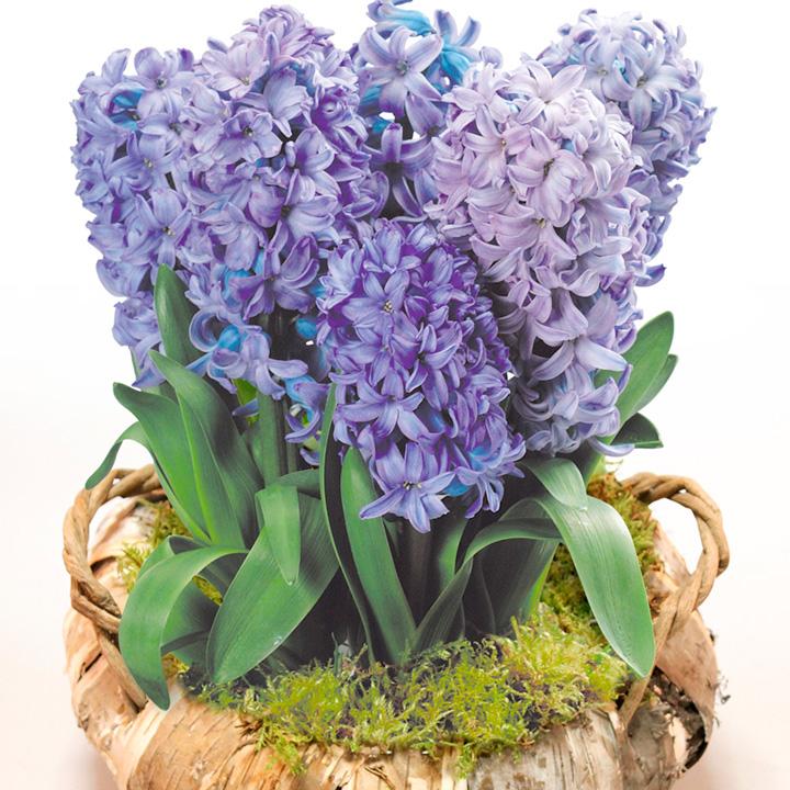 Hyacinth Wreath - Blue