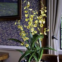An Orchid Yellow Dancing - Luxury Silk Range