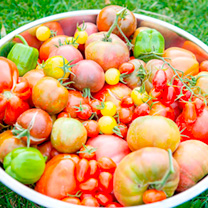 Tomato Plants - Salad Collection
