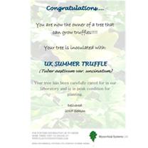 Truffle Tree - Hazel