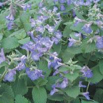 Nepeta Faassenii Plant - Walker's Low
