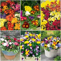 Pick & Mix Winter Bedding Garden Ready Plug Plants