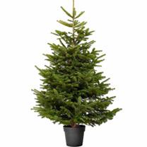 Christmas Tree - Nordmann Fir