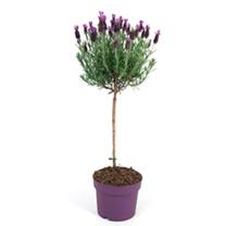Lavender Standard Plant - Anouk