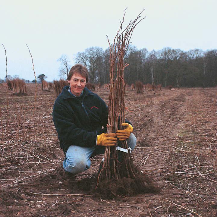 Raspberry Plants - Long Cane Glen Ample